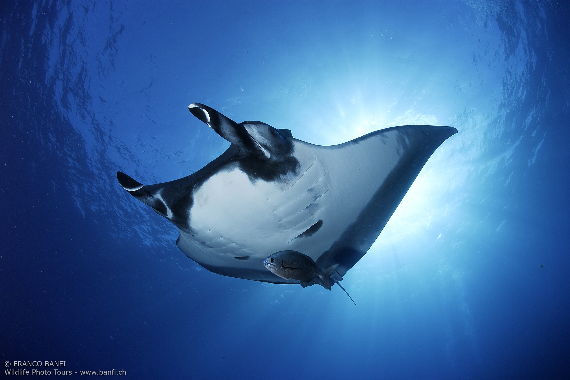 manta ray, Manta birostris, San Benedicto, Revillagigedo (Socorro) Islands, Mexico, East Pacific Ocean